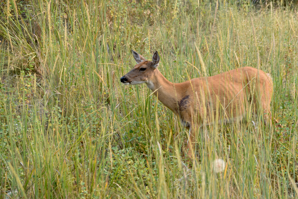 Another Whitetail Doe... by bjywamer