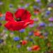 poppy by josiegilbert