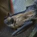 Bat On the Chainsaw Helmet Screen