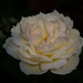White Rose by cdonohoue