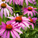 Coneflowers and Friend