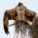 Osprey, Drying and Screaming!