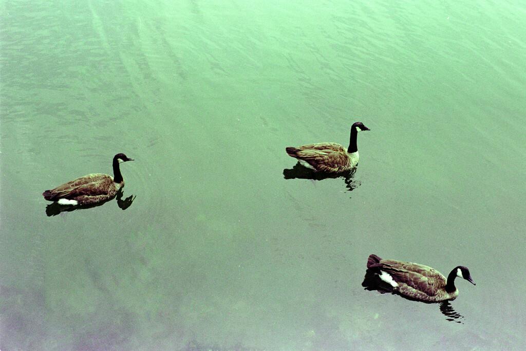 2021-07-20 Fowl Swimmers by kwanruoshan