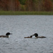 Loon Family Goes for a Swim