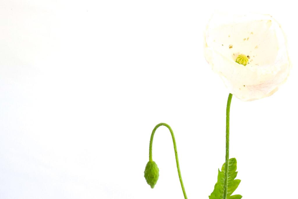 Poppy White by phil_sandford