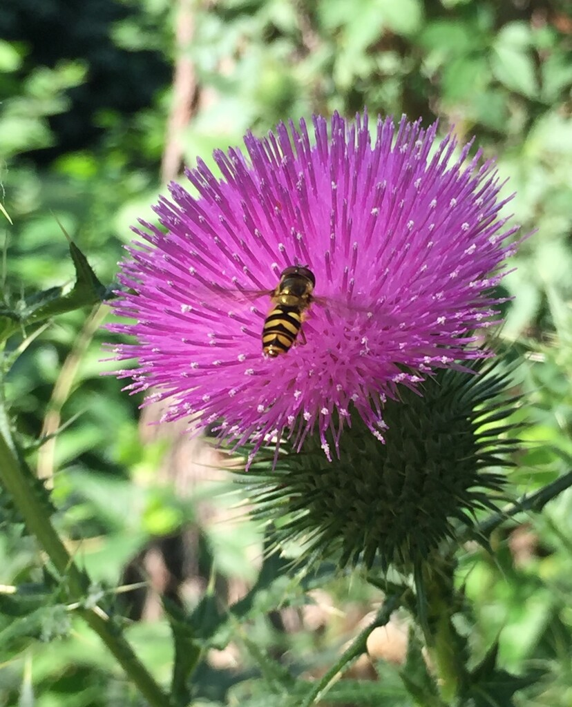 Thistle by mcsiegle