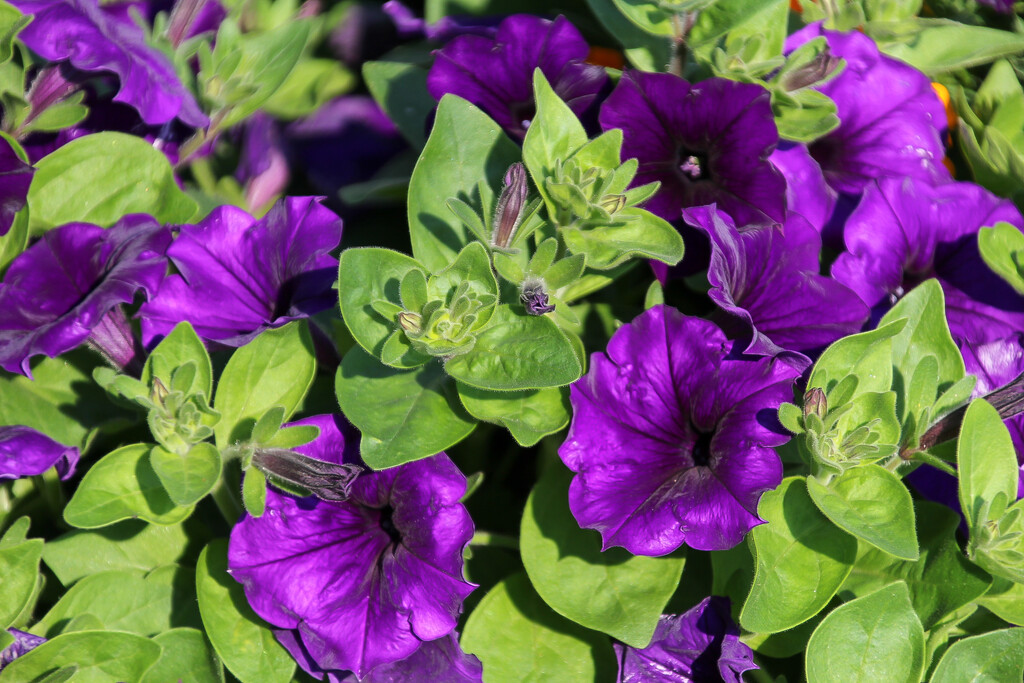 Petunias by mittens
