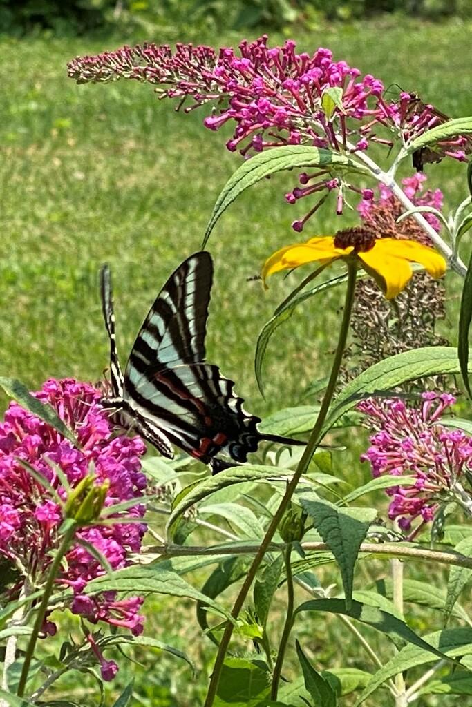 Zebra Swallowtail by tunia