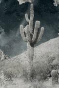 21st Jul 2021 - saguaro