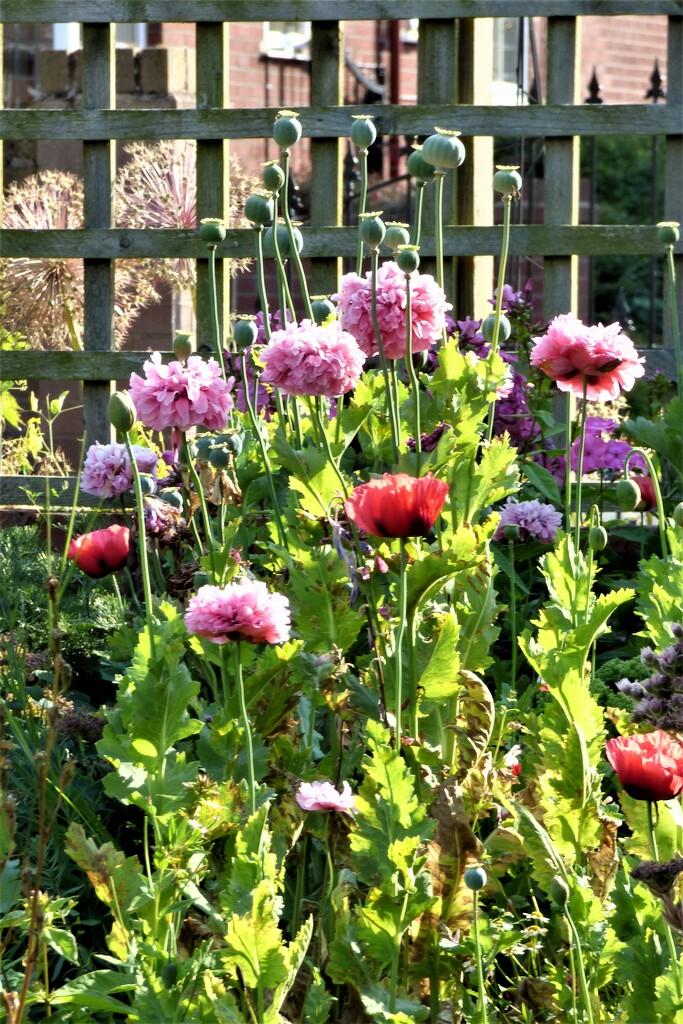 Poppies , by beryl