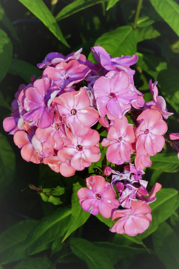 Pink Phlox ,  by beryl