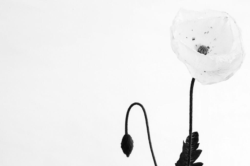 White Poppy (Mono)  by phil_sandford
