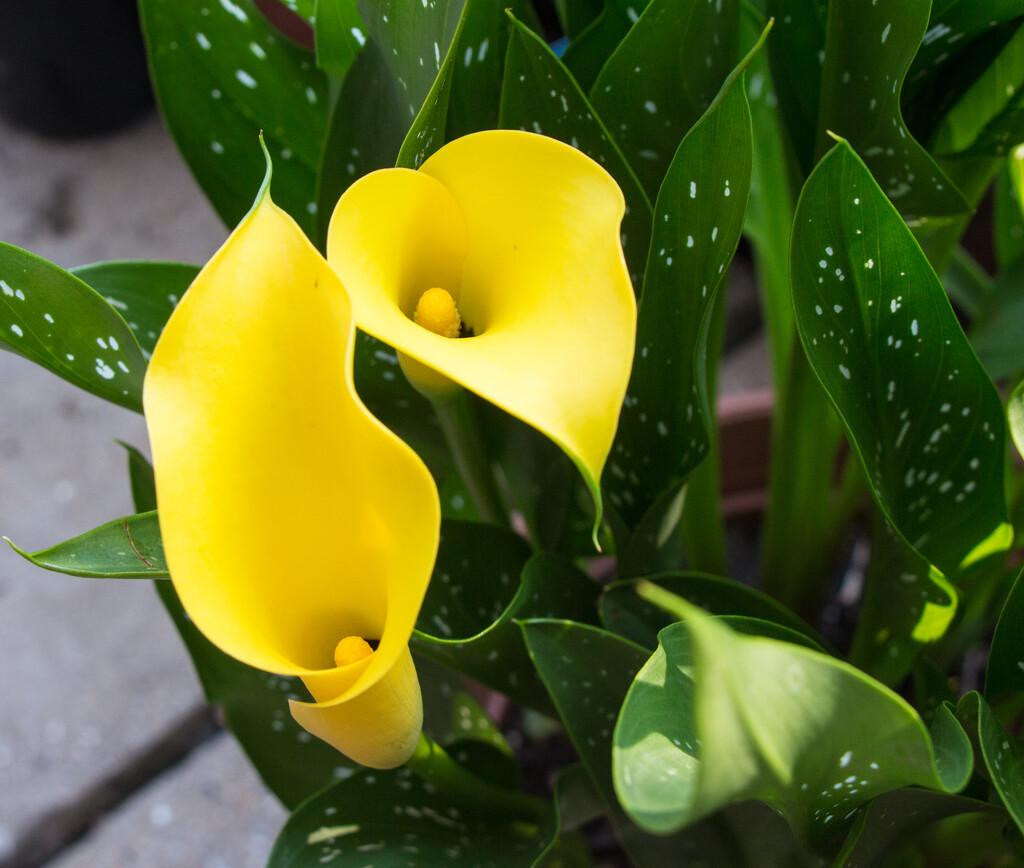Calla lily by busylady