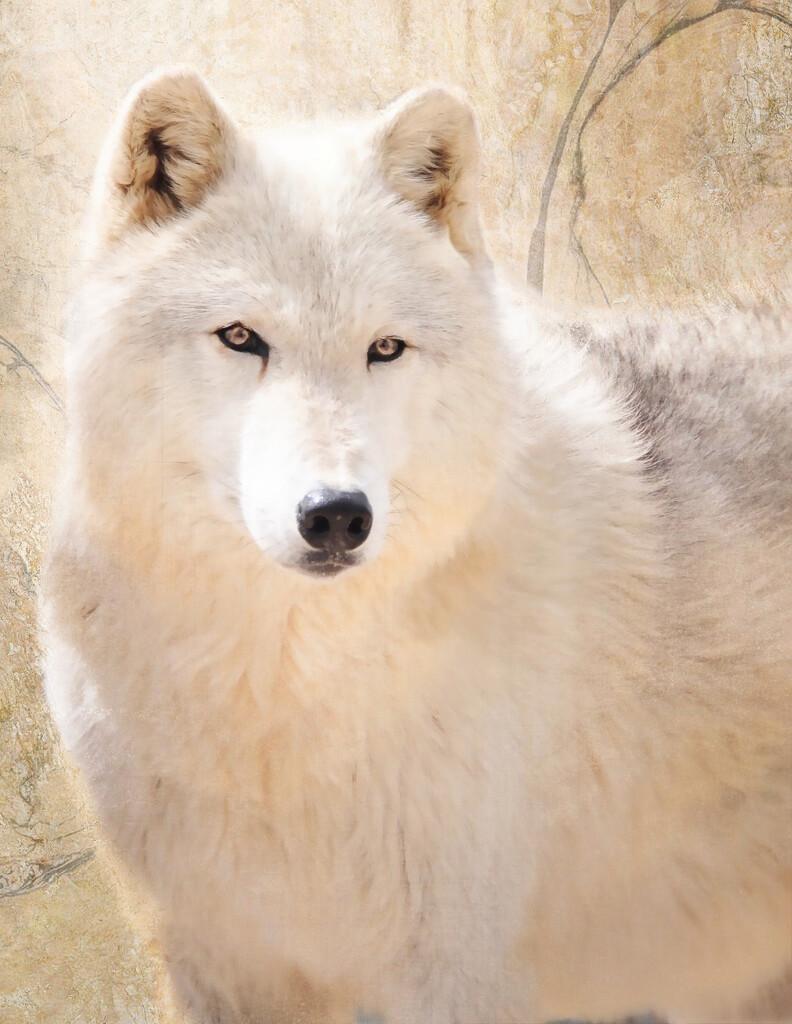 Wolf by joysfocus