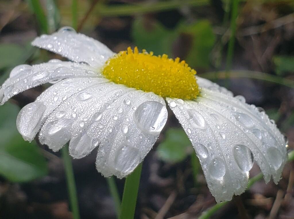 Morning Dew by waltzingmarie