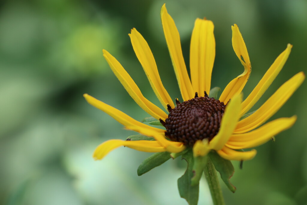 Coneflower Sun Rays by 365projectorgheatherb