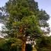 Swamp Cypress (Taxodium distichum) tree. Springfield Park, E5.