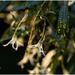 Flowering Duboisia plant