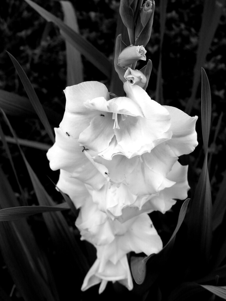 Black and White Gladiola by homeschoolmom