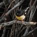 Tomtit on Pigeon Island by maureenpp