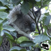 the koalas and the lemon tree