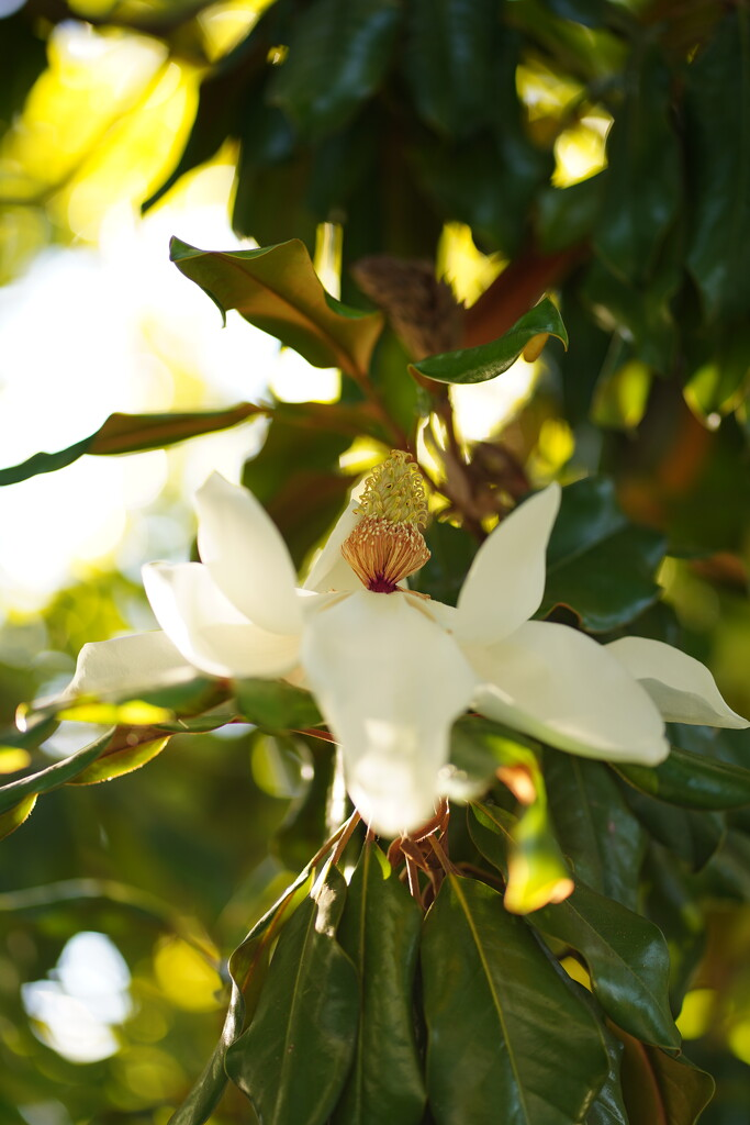 Southern Magnolia by acolyte