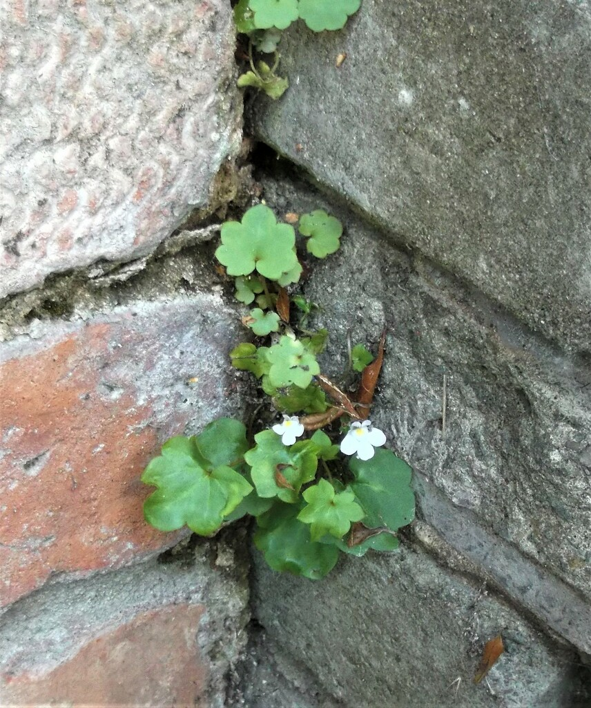Ivy-leaved Toadflax by boatman137