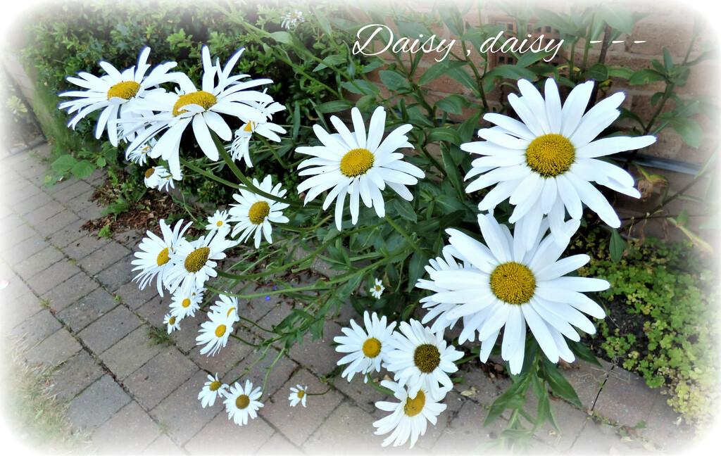 Daisy ,daisy , -- by beryl