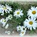 Daisy ,daisy , --