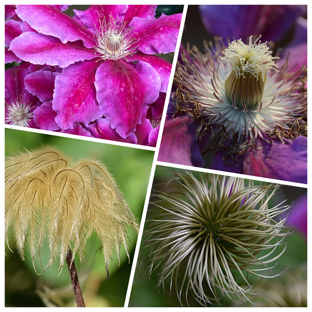 Clematis  by wakelys