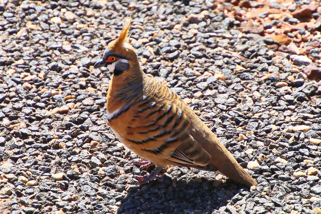 Spinifex Pigeon (Again) by terryliv