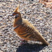 Spinifex Pigeon (Again)
