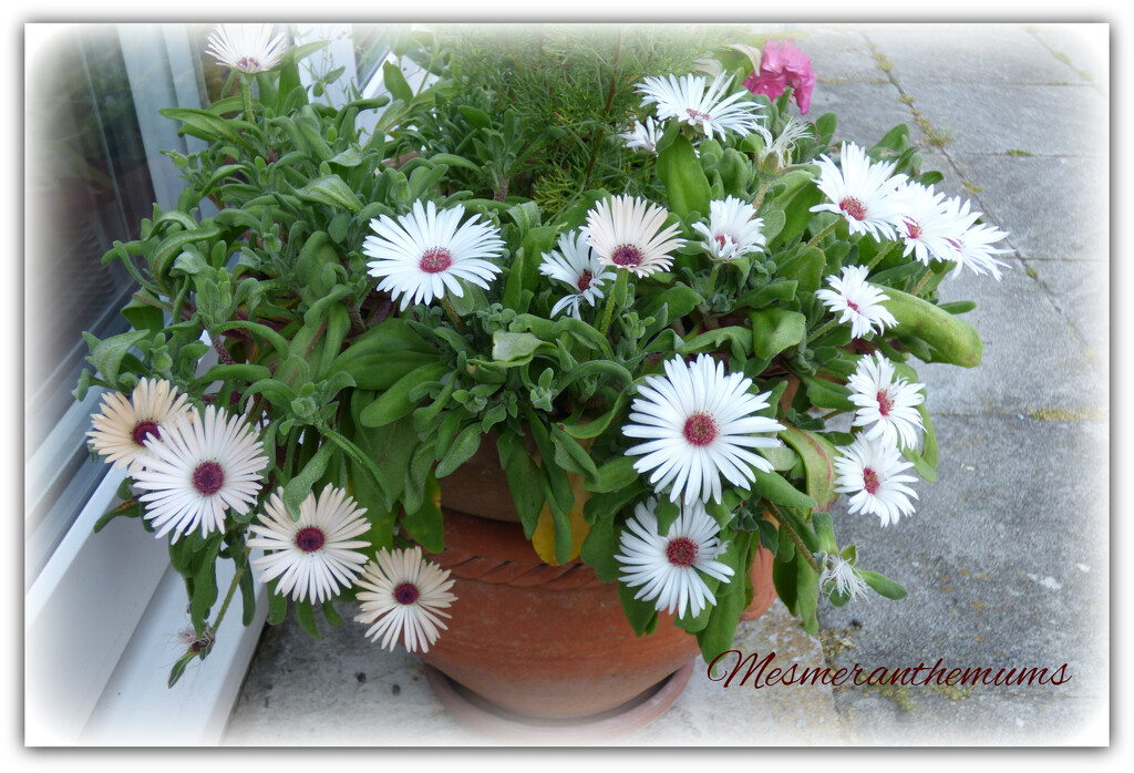 Mesmeranthemums ( livingston daisies ) by beryl