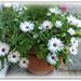 Mesmeranthemums ( livingston daisies )