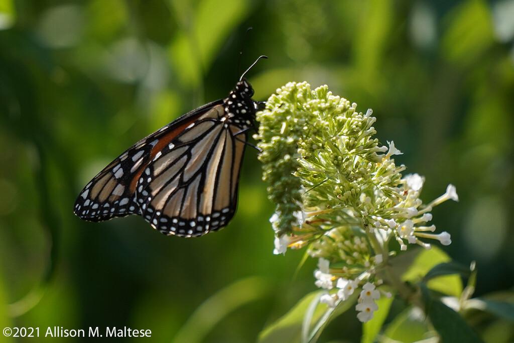 New Monarch by falcon11