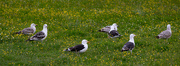 22nd Jul 2021 - Greater Black Backed Gulls
