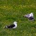 Greater Black Backed Gulls