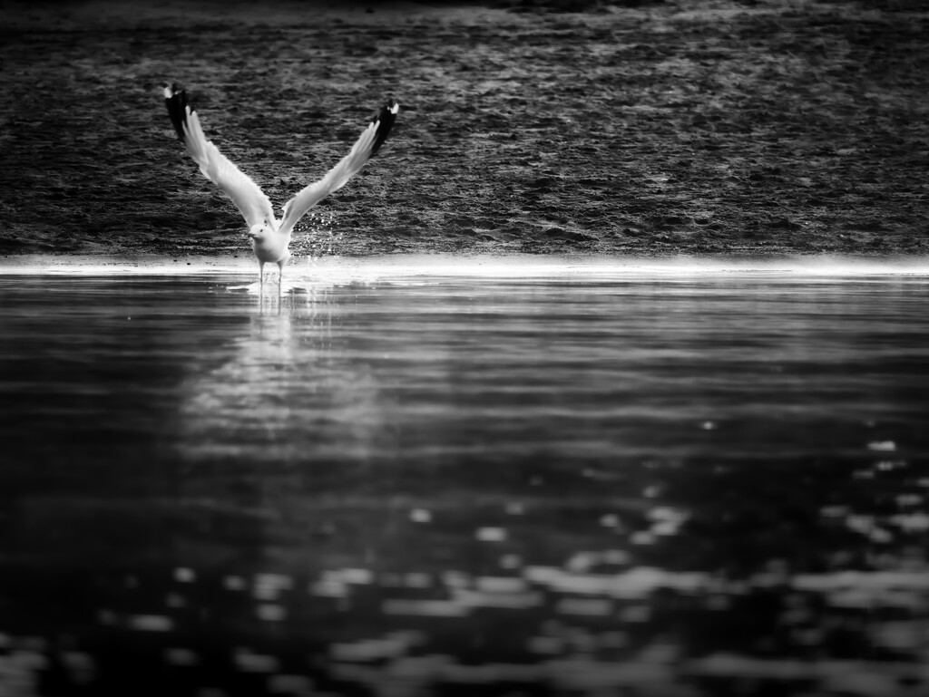 fly like a seagull... by northy