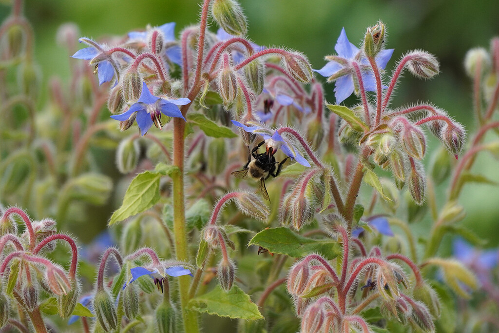 Bees in the Borage by falcon11