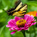 Yellow Swallowtail Butterfly by cwbill