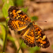 Pearl Crescent Butterfly, I Think!