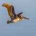 Brown Pelican  by nicoleweg