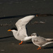 Parent and young - Black fronted terns