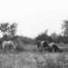 Early morning horses