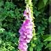 Foxglove in the summer sun