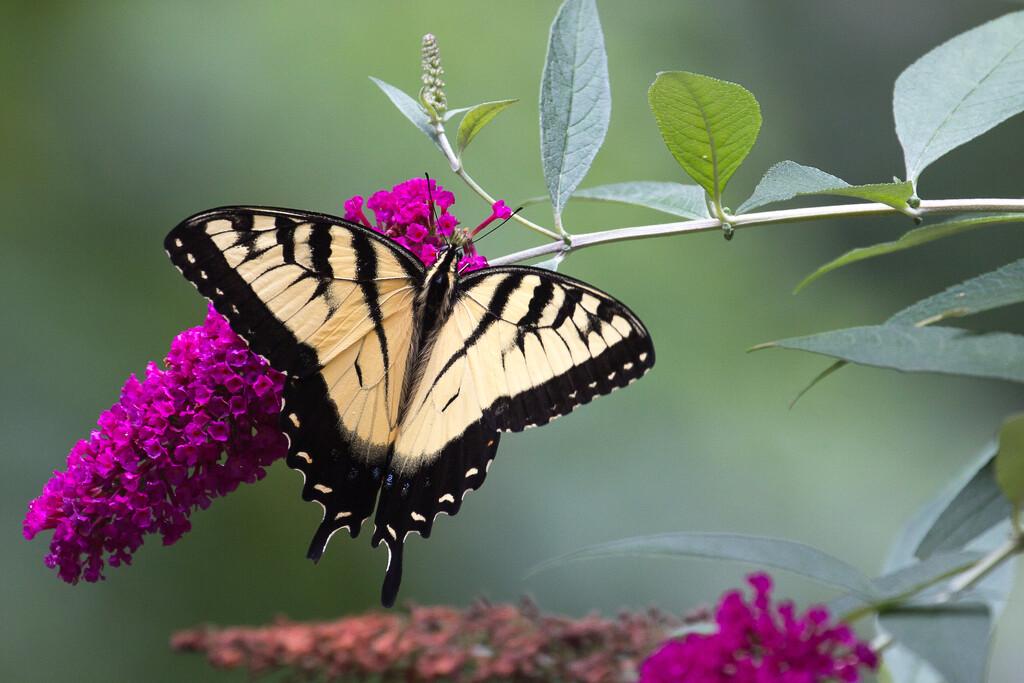 Butterfly Bush by tara11