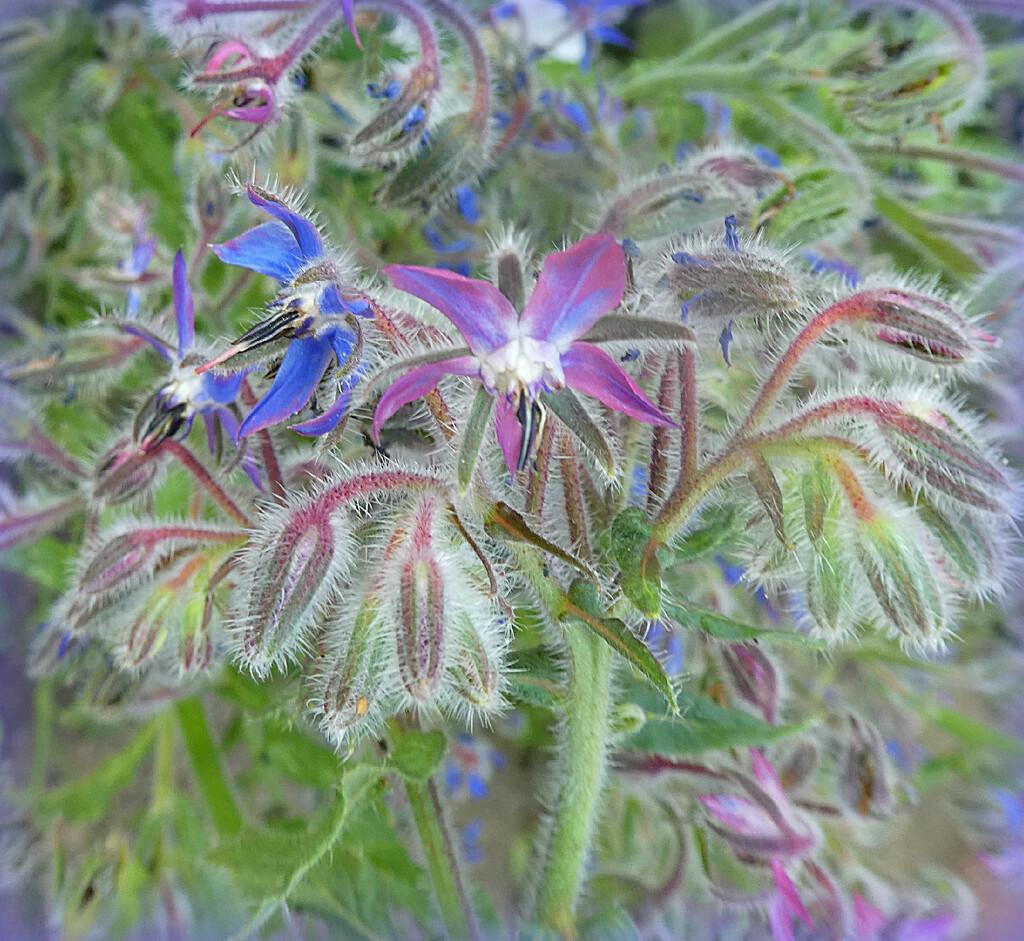 Purple  in The Borage  by wendyfrost