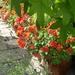 Geraniums under the Sweet Gum