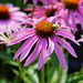 Coneflowers and Bee by tosee