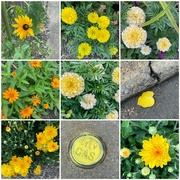 24th Jul 2021 - Yellow Comes in Many Shades